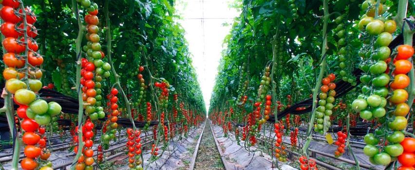 Теплицы для выращивания помидоров зимой 929